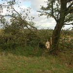 Copdock Hall Split tree