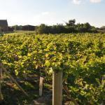 Copdock Hall Vineyard rows of vines