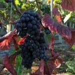 Copdock Hall Vineyard red grapes