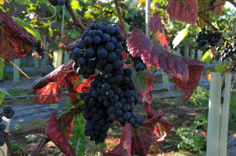Copdock Hall Vineyard red grapes