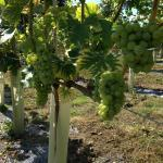Copdock Hall Vineyard white grapes