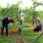 Copdock Hall Vineyard grape picking