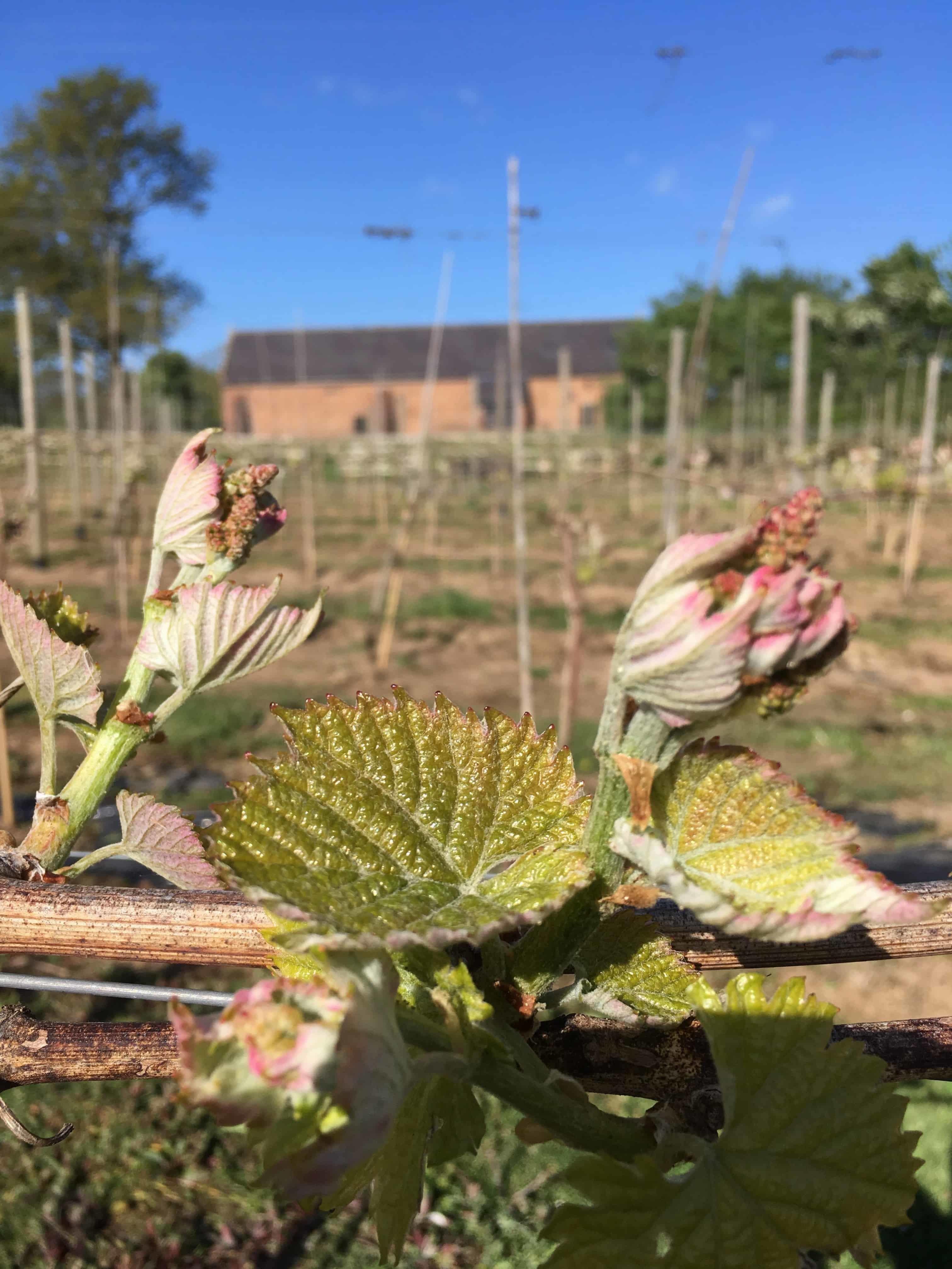 Copdock Hall vineyard flowering